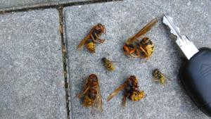 ABID Kammerjäger Hornissen Wespen